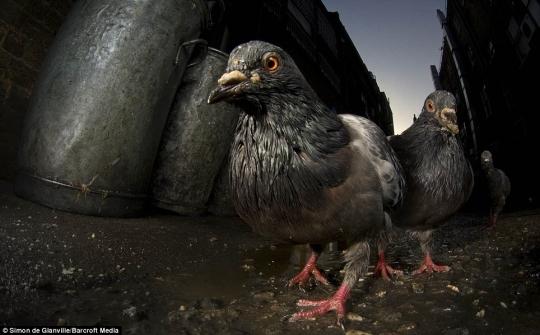Грязные голуби крупным планом в Лондоне